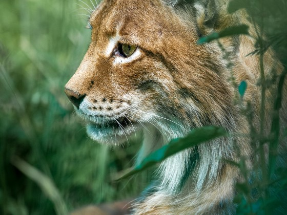 Luchs