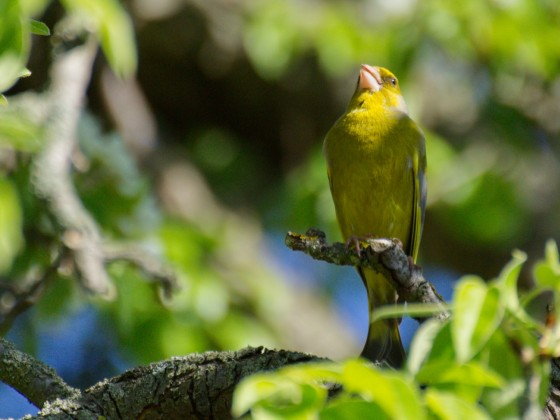 Grünfink im Birnenbaum