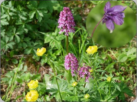 Trollblume und Knabenkraut mit Akelei