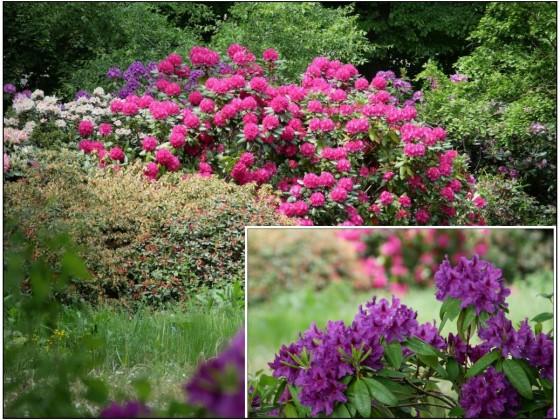 Rhododendron im Jahrpark