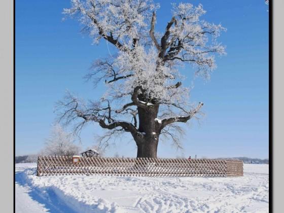 """die """"Kalte Eiche"""" von heute, ehe der Schnee wieder verschwindet"""