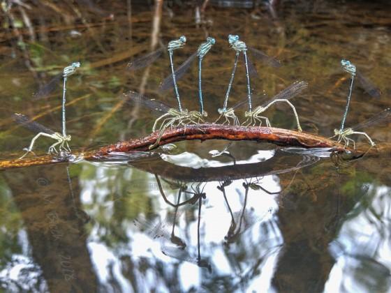 Libellen - Gruppensex