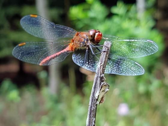Libelle an den Plothener Teichen