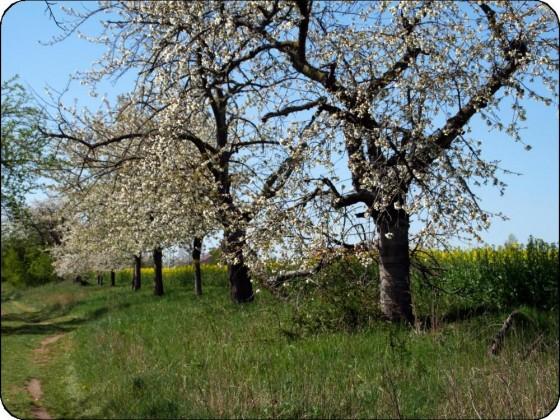 Streuobstblüte auf dem Dürrenberg