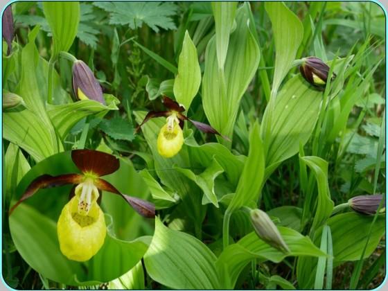 Orchideenwiese bei Jena - Frauenschuh(PiP)