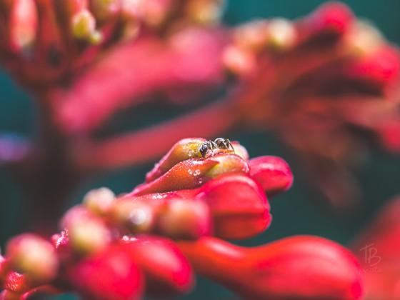Ameise auf Rot