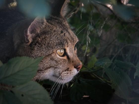 Wildkatzenkater