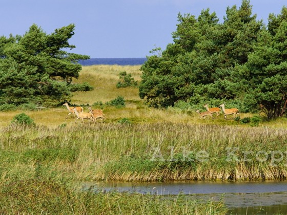 Hirsche an der Ostsee