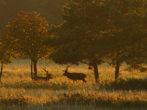 Hirsche im Darßwald