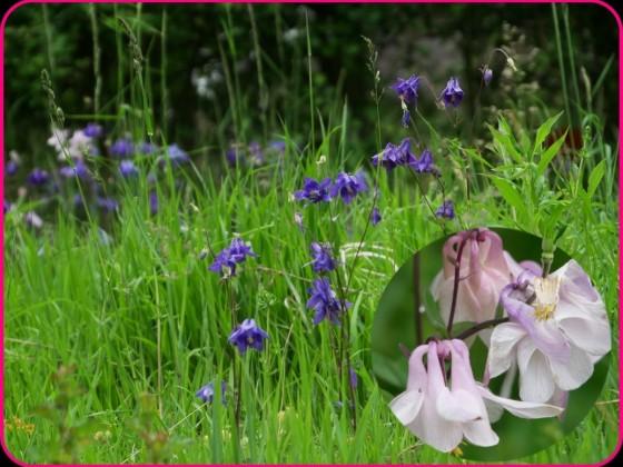 Orchideenwiese Löberschütz Akelei zweifarbig PiP