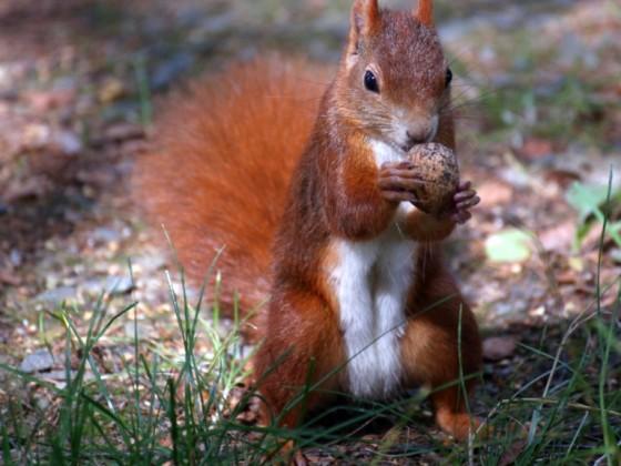 Eichhörnchen an den Plothener Teichen
